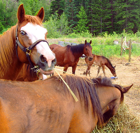 Family of horses beside Gold Pan Inn