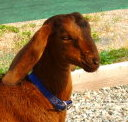 Rochester the Nubian goat